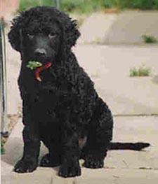 best picture of curly coated retriever top dogs breeds